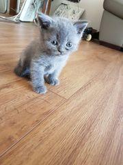 sehr hübsche Reinrassige BKH Kätzchen