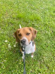 Hund Beagle Rüde 1 Jahr