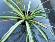 Grünlilie Chlorophytum mit Blütenranken