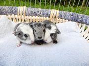 junge Coronet Meerschweinchen