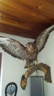 Tierpräperat Greifvogel aus Erbschaft guter