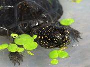 Europäische Sumpfschildkröte - Emys orbicularis - Teichschildkröte -