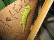 Großer Madagaskar Taggecko --- Phelsuma