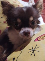 Langhaar Chihuahua Hündin zu verkaufen