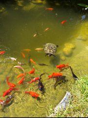 Goldfische - Fische für Teich
