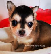Chihuahua Welpen tricolor seltenes blue