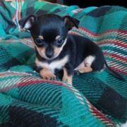 Mini Zwergpinscher 10 Wochen alt