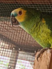 Blaustirnamazone Papagei
