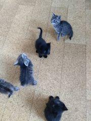 Babykatzen zu vergeben