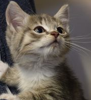 BKH Mix Katzenbabys verschmuste Kitten