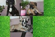 französische Bulldoggen Welpen suchen neues