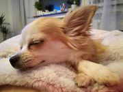 Kleiner Chihuahua sucht großes Herz