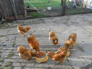 Zwerg-Hühner Zuchtstämme