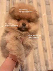 Schillernde Mini Pomeranian Welpen zu