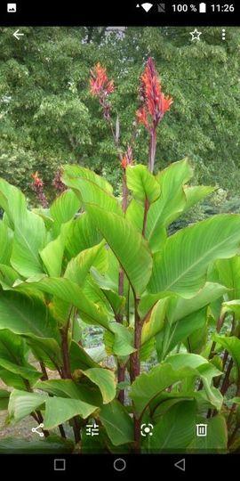 Pflanzen - Canna