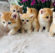 Wunderschöne Goldene BKH Katzenbaby mit