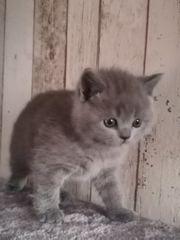 3 Reinrassiege Kitten sucht ein