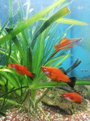 Süßwasser-Fische Nachzucht