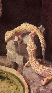 1 1 Leopardgeckos