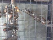 Verkaufe meine zebrafinken mit vogelvoliere