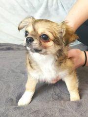 Typvoller exzellenter Chihuahua Rüde