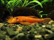Antennenwelse Rot LDA16 Aquarium Fische