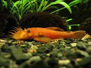 Antennenwelse Rot LDA16 Aquarium Fische