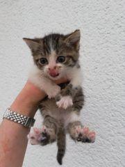 Babykatze lieb verschmust