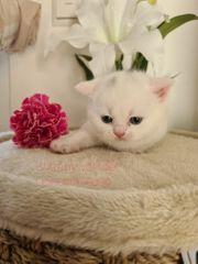 BKH Kitten Odd eye Träger