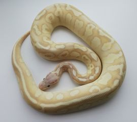 1.0 Super Pastel Banana Butter 100%het Ghost o Ghost