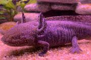 Axolotl Wildling Versand möglich BD