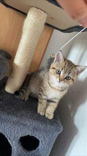 Scottish Fold BKH Kitten zu