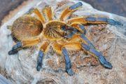 Harpactira pulchripes Weibchen und slings