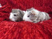 Flauschige junge Meerschweinchen Sheltie Coronet
