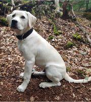 Labradorwelpe 18 Wochen blond