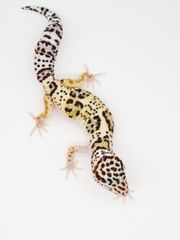 Diorite NZ 21 Leopardgecko