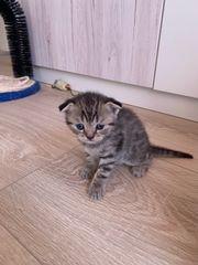Wunderschöne BKH Scottish Fold Kitten