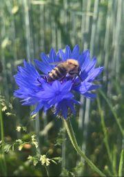 Carnica Bienenkönigin Königin Weisel Bienen