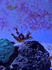 Meerwasser Thor amboinensis Hohlkreuzgarnele Sexy