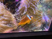 Meerwasser Anemonenfisch A Barberi