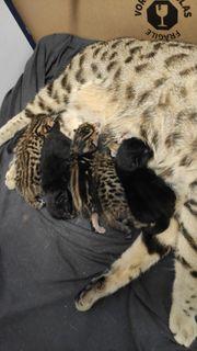 Bengal Savannah mix Kitten
