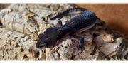 Leopardgecko Black Night Pure 0
