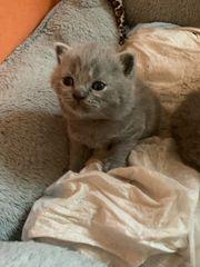 Wunderschöne Scottisch Fold Katzen