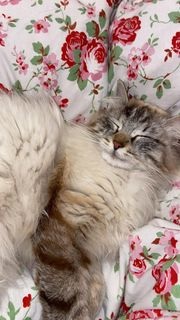 Sibirische Waldkatze Deckkater