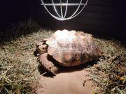 Spornschildkröte Sulcata männlich