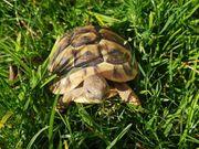 Griechische Landschildkröten verm weiblich Nachzuchten