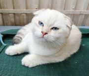 Bkh Scottish Fold kater