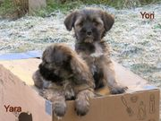 Tibet Terrier Welpen kleine Herzensbrecher
