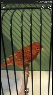 Rot Achat Kanarienvögel A B