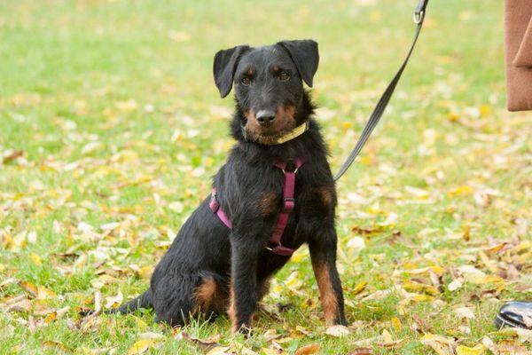 Bonetto 3 Jahre - Jagdterrier - Tierhilfe